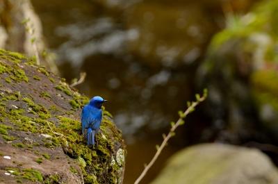 soku_14882.jpg :: 動物 鳥 野山の鳥 オオルリ
