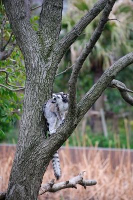 soku_14904.jpg :: 動物園 上野動物園 ワオキツネザル D90 B008