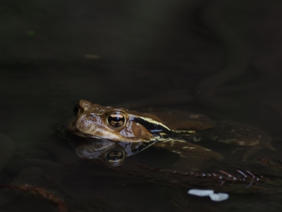 soku_14914.jpg :: 動物 両生類 カエル ヒキガエル