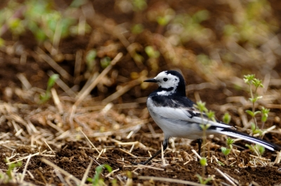 soku_14924.jpg :: 動物 鳥 ハクセキレイ