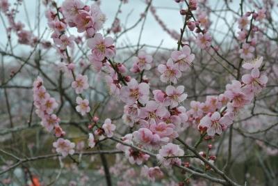 soku_14938.jpg :: 宮城 船岡 梅桜