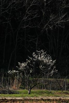 soku_14999.jpg :: 植物 花 桜 サクラ 林 by Niigata