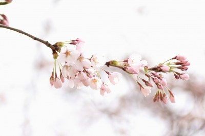 soku_15062.jpg :: 植物 花 桜 サクラ ハイキー
