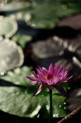 soku_15130.jpg :: 植物 花 睡蓮 スイレン