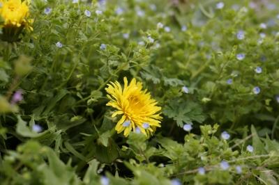 soku_15133.jpg :: 植物 花 タンポポ オオイヌノフグリ