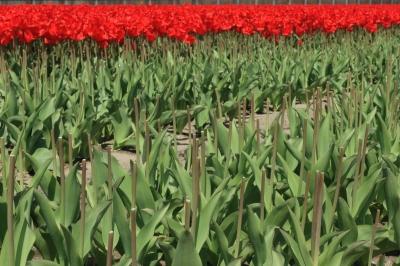 soku_15187.jpg :: 首無し 植物 花 チューリップ by Niigata