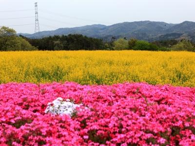 soku_15263.jpg :: 植物 花 芝桜 シバザクラ 菜の花