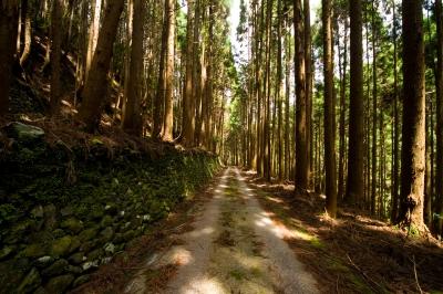 soku_15377.jpg :: 自然 杉林 林道
