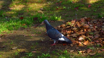 soku_15401.jpg :: 動物 鳥 鳩 ハト