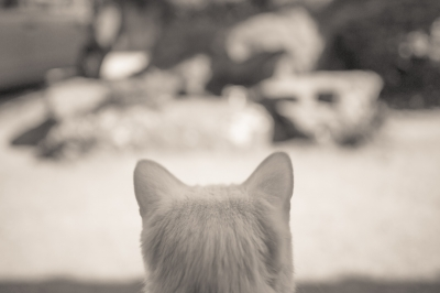 soku_15425.jpg :: 動物 哺乳類 猫 ネコ 後ろ姿
