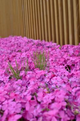 soku_15474.jpg :: 芝桜 植物 花 赤い花