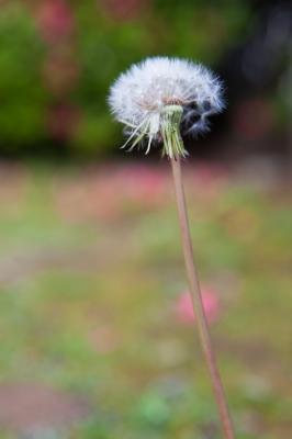 soku_15497.jpg :: 植物 花 タンポポ 綿毛
