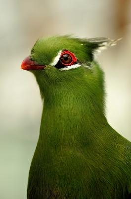 soku_15506.jpg :: ギニアエボシドリ 掛川花鳥園