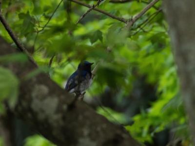 soku_15591.jpg :: 動物 鳥 野山の鳥 オオルリ