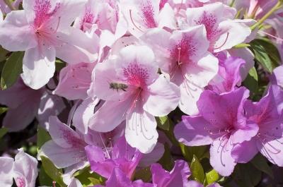 soku_15651.jpg :: 花 植物 ツツジ 動物 昆虫 蜂 ミツバチ