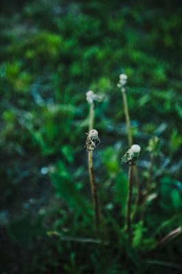 soku_15743.jpg :: 植物 草葉 たんぽぽ