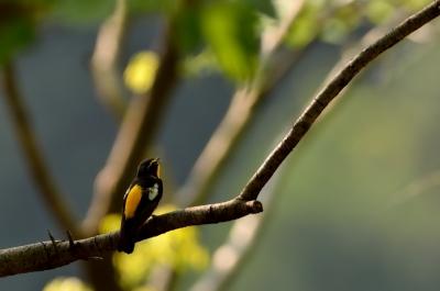 soku_15807.jpg :: 動物 鳥 野山の鳥 キビタキ