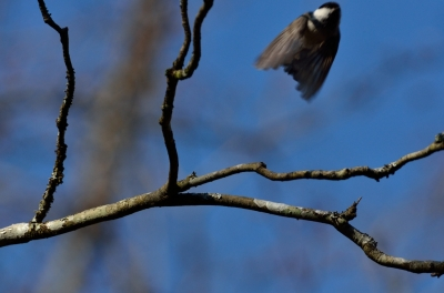 soku_15917.jpg :: 動物 鳥 野山の鳥 ヒガラ