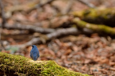 soku_15918.jpg :: 動物 鳥 野山の鳥 コルリ
