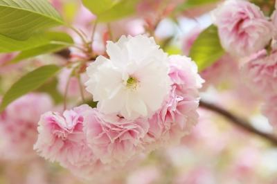soku_15978.jpg :: 八重桜
