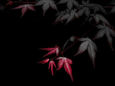 soku_16028.jpg :: 風景 自然 紅葉 赤い紅葉