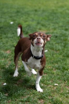 soku_16040.jpg :: ボストン チワワ 動物 哺乳類 犬 イヌ