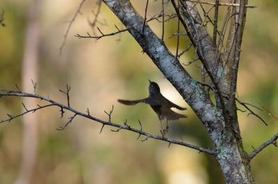 soku_16084.jpg :: 動物 鳥 野山の鳥 ウグイス