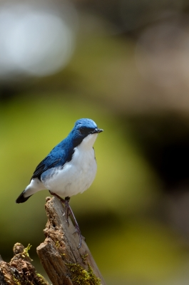 soku_16093.jpg :: 動物 鳥 野山の鳥 コルリ