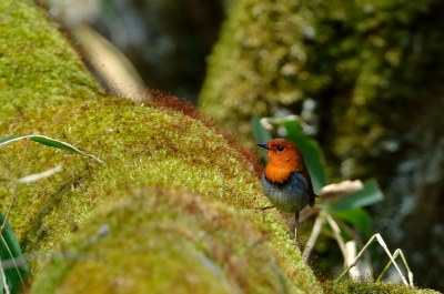 soku_16094.jpg :: 動物 鳥 野山の鳥 コマドリ