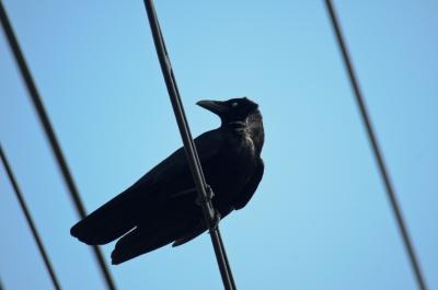 soku_16132.jpg :: 動物 鳥 カラス