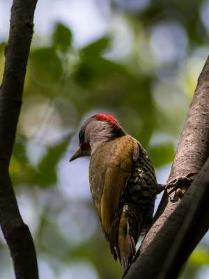 soku_16380.jpg :: 動物 鳥 野山の鳥 アオゲラ