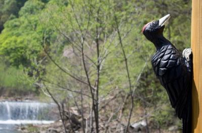 soku_16391.jpg :: 模型 鳥 クマゲラ