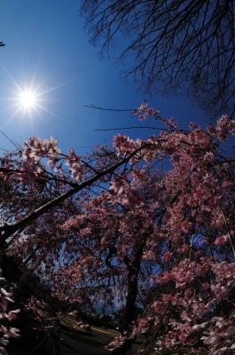 soku_16420.jpg :: 桜 風景 自然 空 青空