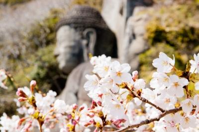 soku_16494.jpg :: 植物 花 桜 サクラ 花びら 大仏