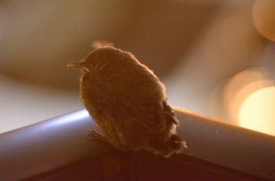 soku_16662.jpg :: 動物 鳥 イソヒヨドリ