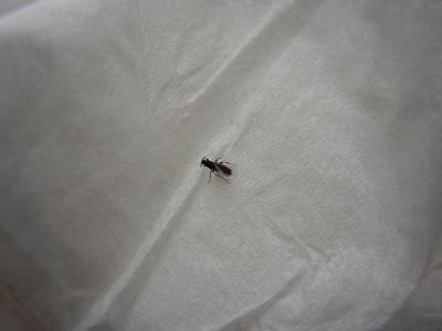 soku_16674.jpg :: 動物 虫 昆虫 蝿 ハエ コバエ ニセケバエ