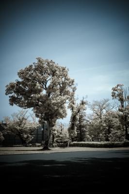 soku_16679.jpg :: 風景 街並み 公園 植物 花 桜 サクラ 赤外線