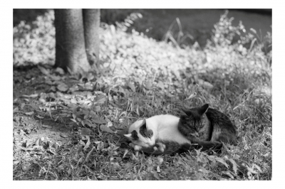 soku_16702.jpg :: 動物 哺乳類 猫 ネコ 銀塩 フィルム 白黒 モノクロ