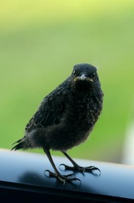 soku_16729.jpg :: 動物 鳥 イソヒヨドリ 雛