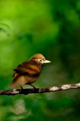 soku_16752.jpg :: 動物 鳥 野山の鳥 ガビチョウ 篭脱