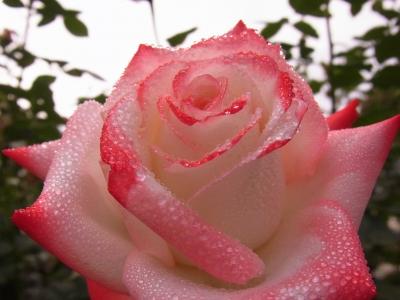 soku_16793.jpg :: 植物 花 薔薇 バラ 風景 自然 水滴