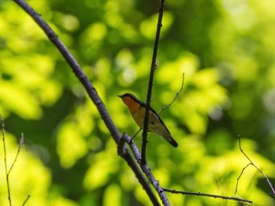 soku_16883.jpg :: 動物 鳥 野山の鳥 キビタキ