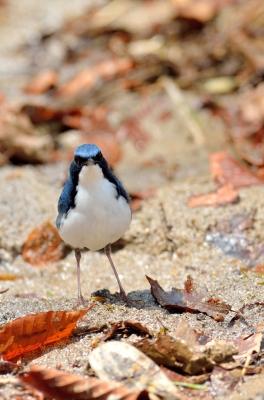 soku_16940.jpg :: 動物 鳥 野山の鳥 コルリ