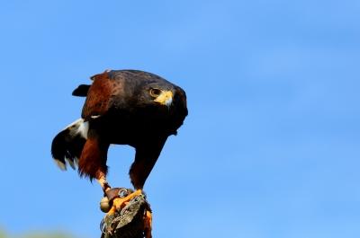 soku_16974.jpg :: ハリスホーク 掛川花鳥園 動物 鳥 猛禽類