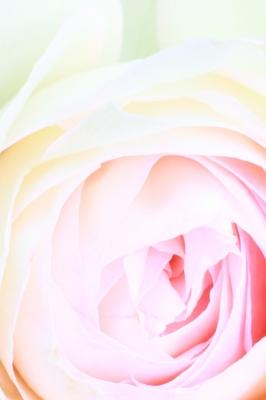 soku_17083.jpg :: 植物 花 薔薇 バラ エクステンションチューブ by Niigata