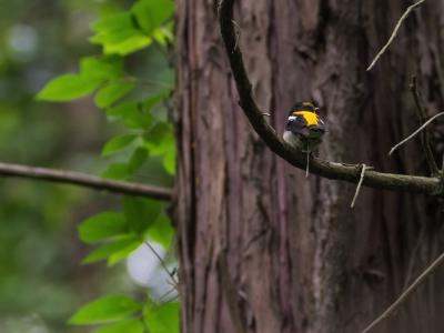 soku_17100.jpg :: 動物 鳥 野山の鳥 キビタキ うんこ