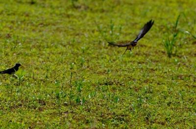 soku_17152.jpg :: 動物 鳥 燕 ツバメ