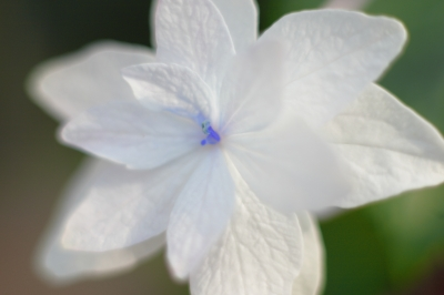 soku_17221.jpg :: 植物 花 白い花 by Niigata