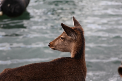 soku_17256.jpg :: 動物 哺乳類 鹿 シカ