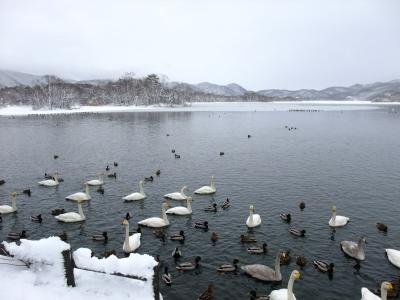 soku_17388.jpg :: 北海道 動物 鳥 白鳥 ハクチョウ